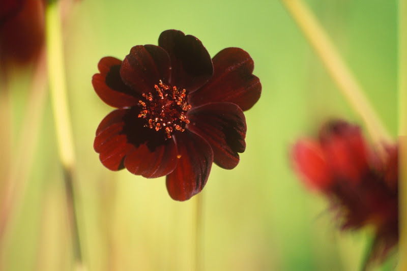 Flowers That Satisfy A Craving For Chocolate: Chocolate Cosmos
