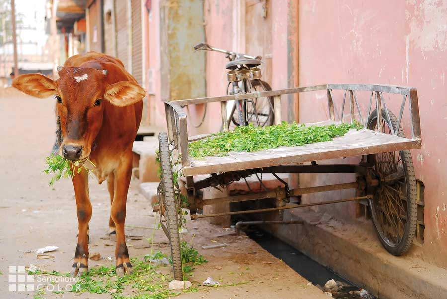Holy cow, eating clover in a pink colored street in Jaipur, India