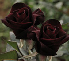 The Meaning Of The Color Of Roses - Black Rose
