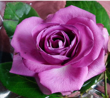 The Meaning Of The Color Of Roses - Lavender Rose