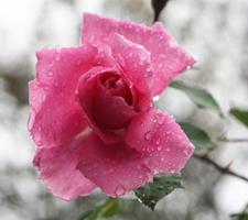 The Meaning Of The Color Of Roses - Pink Rose