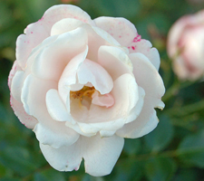 The Meaning Of The Color Of Roses - White Roses