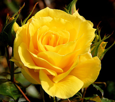 The Meaning Of The Color Of Roses
