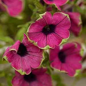 Red Violet Garden