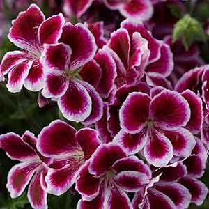 I'm Dreaming of a Red-Violet Garden - Sensational Color