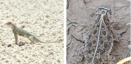 United States | White Sands, New Mexico - Bleached-Earless-and Horned Lizard