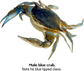 Blue Crab Tips Male