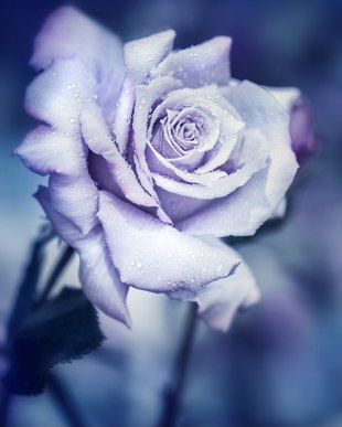 Blue Rose Color Meaning
