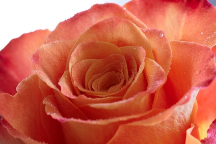 Coral Rose Color Meaning