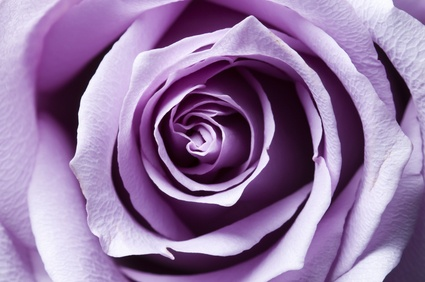 Lavender Rose Color Meaning