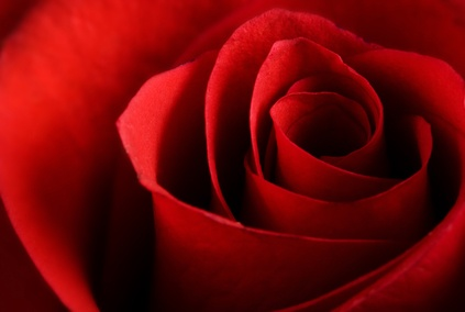 Red Rose Color Meaning