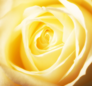 Yellow Rose Color Meaning