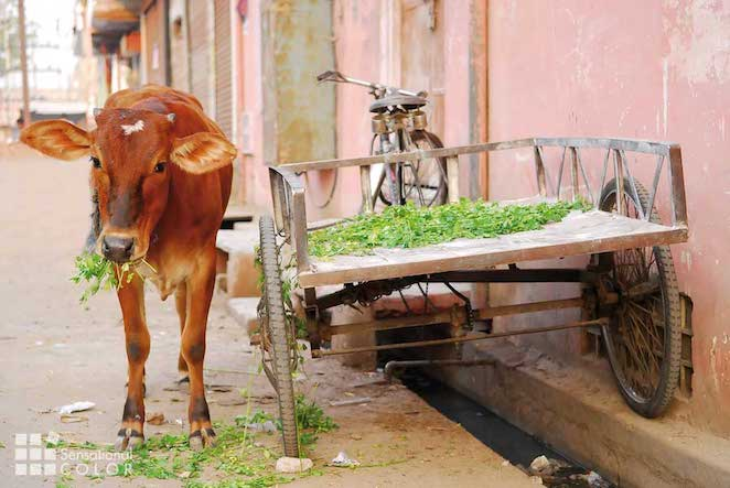 Holy Cow Eating Clover In A Colorful Street In the Pink City Jaipur, India