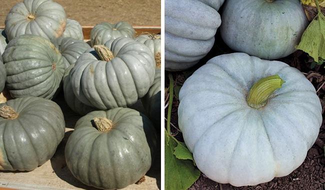 Blue Pumpkin Colors - Jarrahdale or Australian Blue and Blue Max