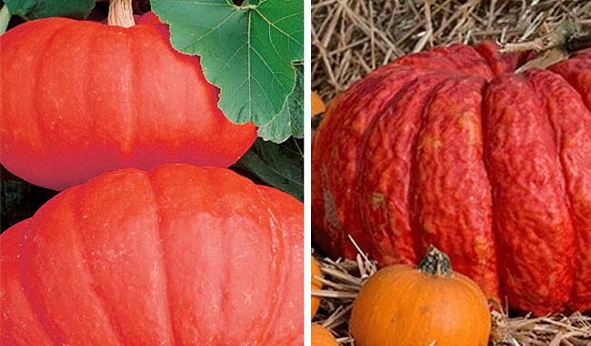 Red Pumpkins - Rouge Vif d'Estampes and Lal bhopla