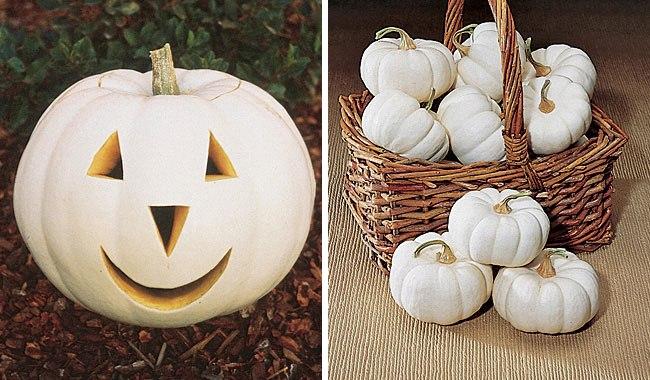 Lumina and Baby Boo White Pumpkins