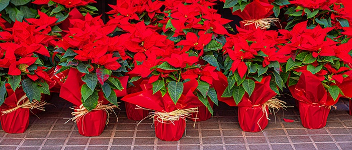 Pointsettia in traditional red and green Christmas colors